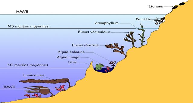 Zonation bathymétrique des Algues