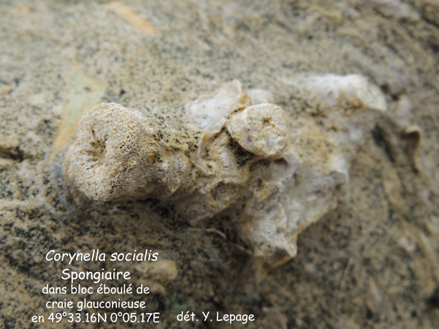Corynella socialis
