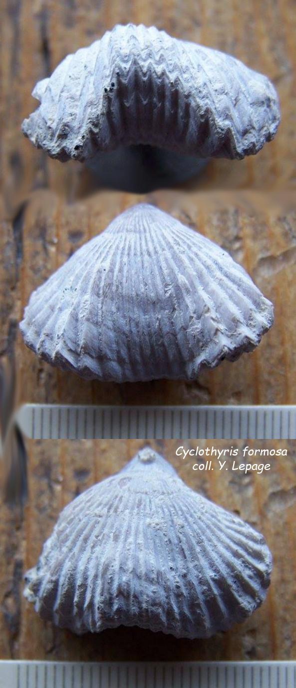 Cyclothyris formosa dans la craie ocre surmontant la craie glauconieuse basale du Cénomanien - coll. Y. Lepage