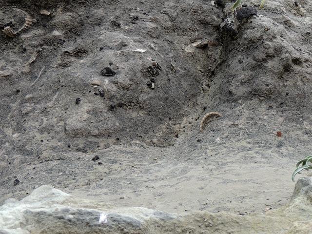 Couche basale du Cénomanien, à galets verts et débris coquilliers - Terriers creusés dans la gaize