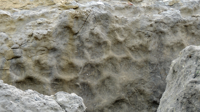 Réseau polygonal de terriers (Thalassinoides) au sommet du niveau Epaville