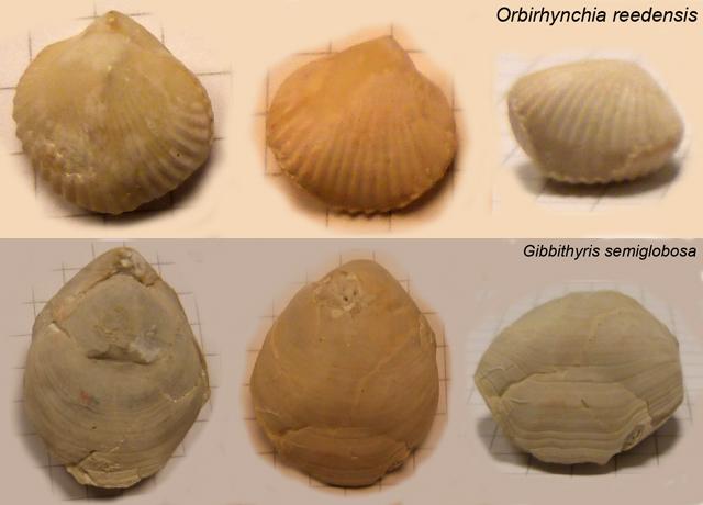Brachiopodes récoltés dans la carrière - Orbirhynchia reedensis Gibbithyris semiglobosa (détermination Y. Lepage)
