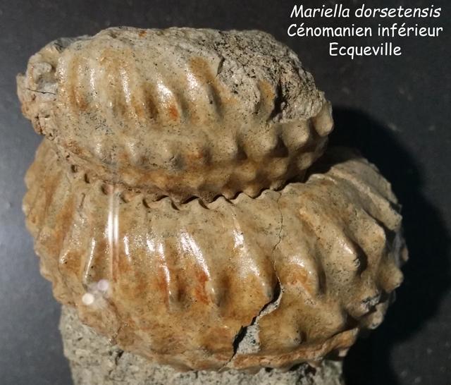 Mariella dorsetensis - coll. Lepage