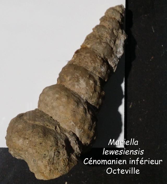 Mariella lewesiensis - coll. Lepage
