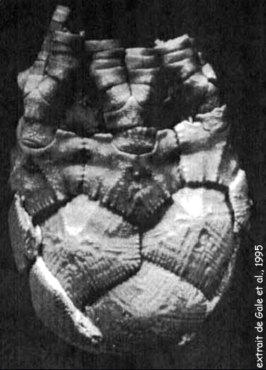 Marsupites testudinarius, cliché extrait de Gale et al., 1995