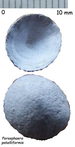 Porosphaera patelliformis - craie glauconieuse à galets verdis