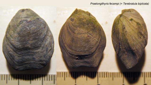 Praelongithyris fecampi (= Terebratula biplicata)