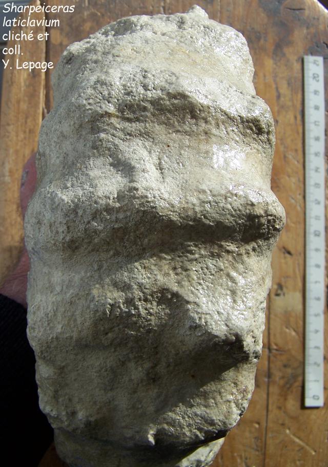Vue ventrale de Sharpeiceras laticlavium