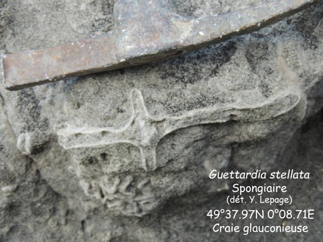 Spongiaire : Guettardia stellata dans le biostrome