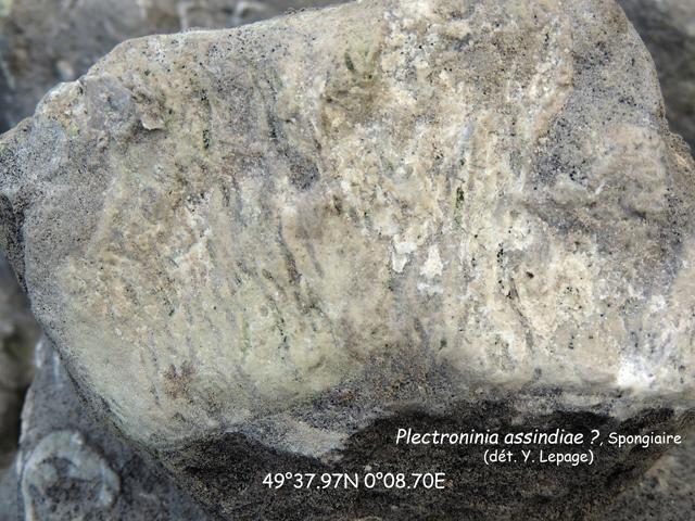 Bloc de Spongiaire : Plectroninia assindiae (?) dans le biostrome