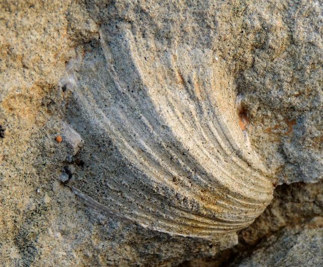 Neithea quinquecostata (détermination Y. Lepage)