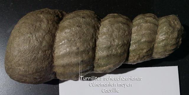 Turrilites scheuchzeriaus - coll. Lepage