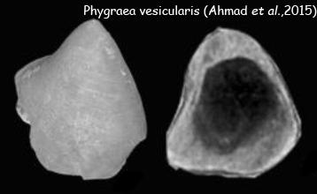 Phygraea vesicularis
