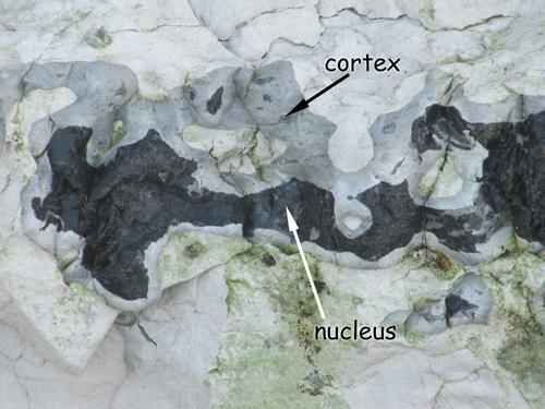 Distinction d'un cortex et d'un nucléus