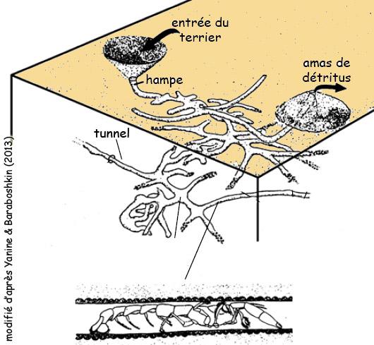 Terrier de type Thalassinoides et Callianasse associé (modifié d'après Yanin & Baraboshkine, 2013)
