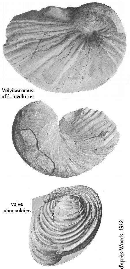 Volviceramus aff. involutus, d'après Woods, 1912